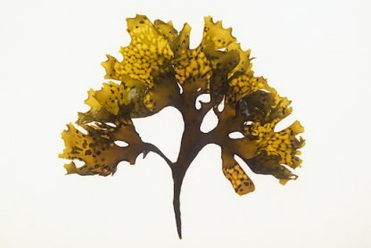 Chondrus crispu, carrageen Irish moss